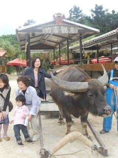 竹富島の水牛.jpg